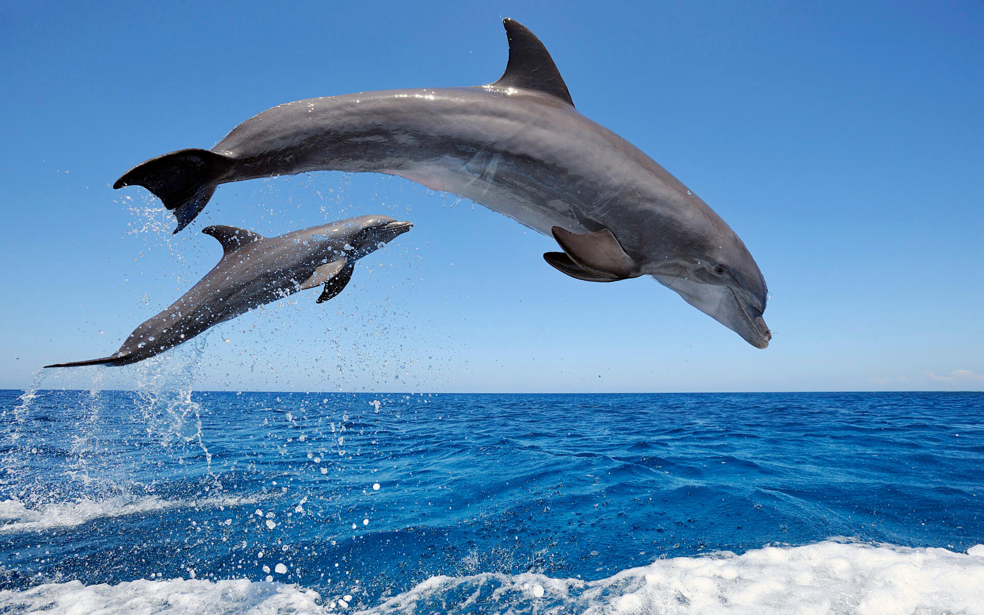 common bottlenose dolphin excursion in tenerife