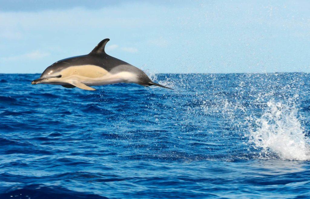 Delfín común saltando