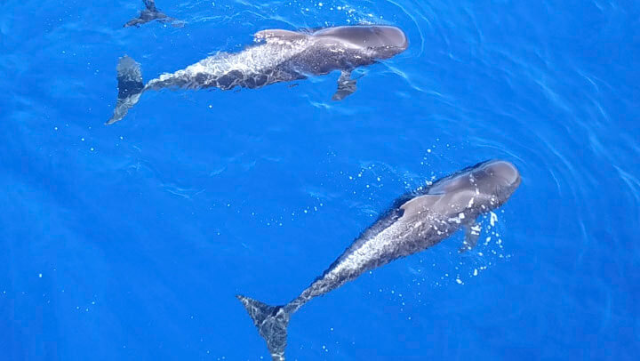 Pilot Whales in Tenerife