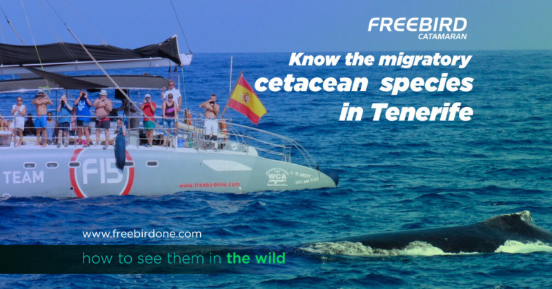 Know the migratory cetacean species in Tenerife